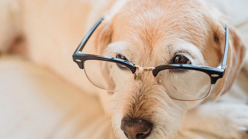 メガネをかけたゴールデンレトリバー