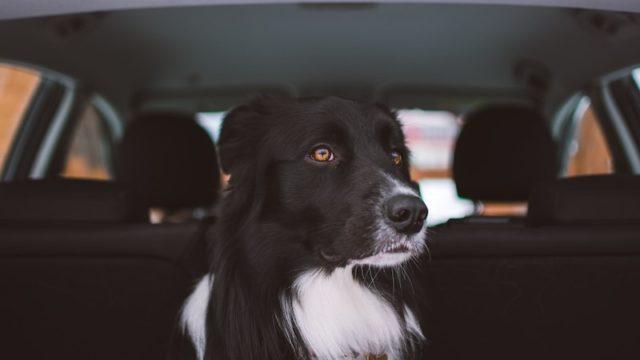 車の後部座席に座り何かを見つめているボーダーコリー犬